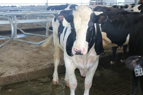 holstein dairy cow looking at you